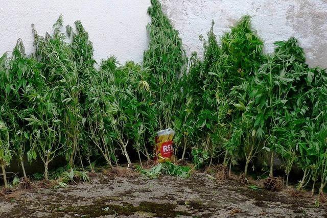 Polizei räumt Cannabisplantage in Zunsweier