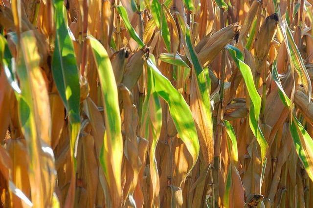 Man sieht die Landschaft vor lauter Mais nicht mehr