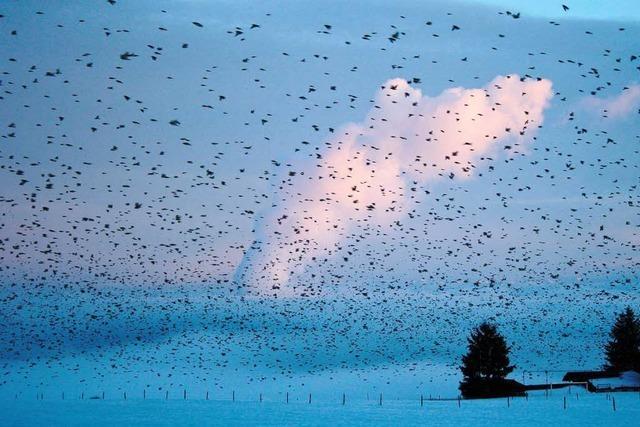 Kehren die Bergfinken in den Hotzenwald zurück?