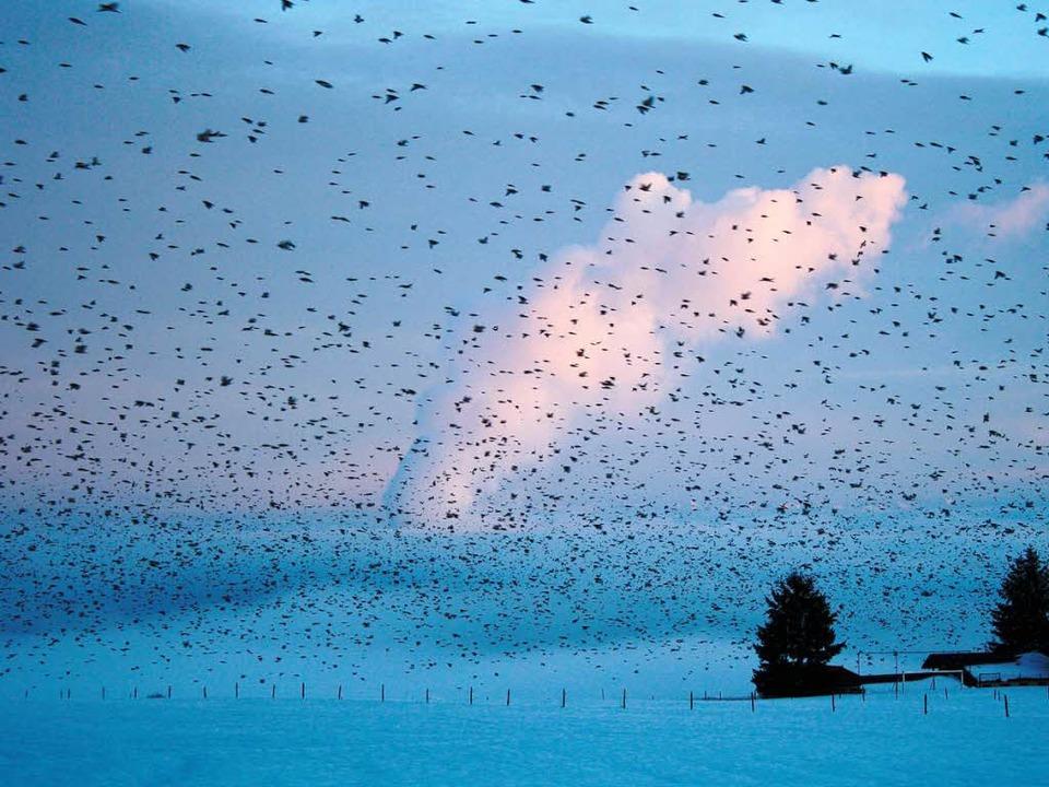 Das allabendliche Schauspiel, das Mill...te täglich zahlreiche Vogelfreunde an.  | Foto: Katja Mielcarek
