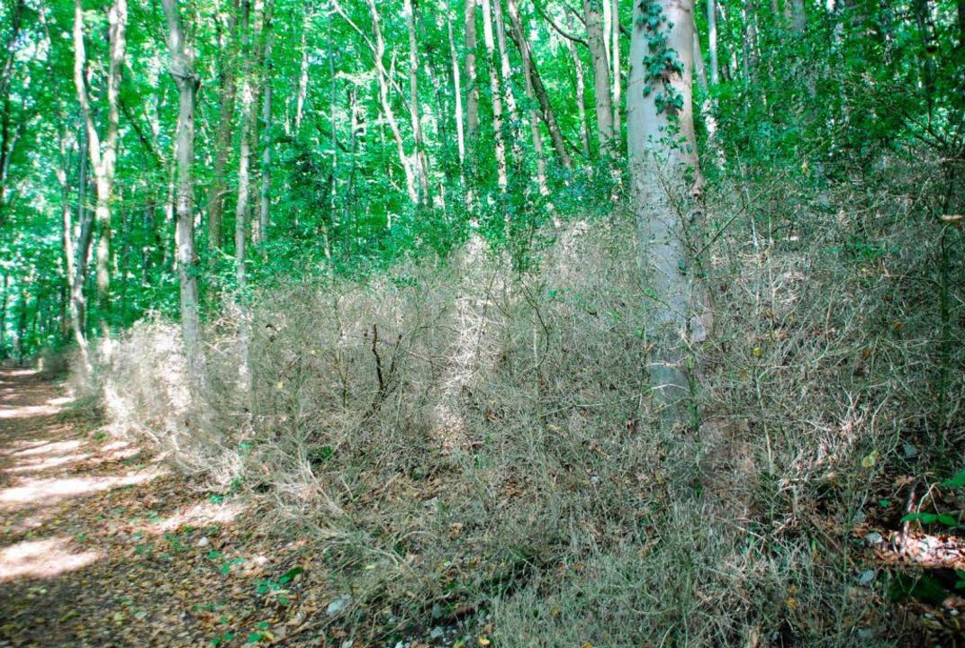 Der Buchswald in Grenzach-Wyhlen nach der Zünsler-Attacke  | Foto: Ralf Staub