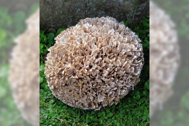 Rentner findet Drei-Kilo-Pilz
