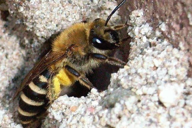 Harmlose Bienenschwärme verschrecken die Freiburger