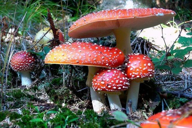 Eine gutes Jahr für die Ortenauer Pilzsammler