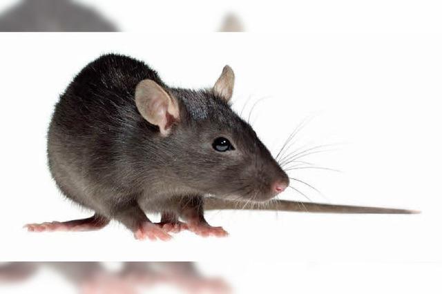Der Rat gegen Ratten: Nicht füttern!