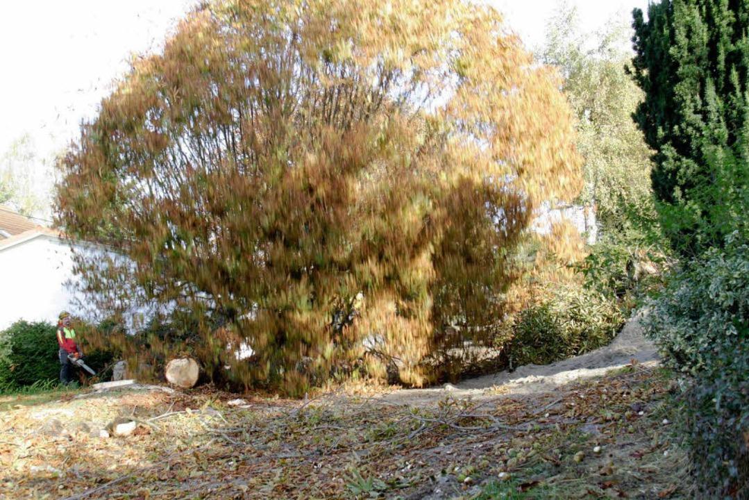 Die mächtigen Kastanienbäume krachten mit Wucht  zu Boden.  | Foto: Wilfried Dieckmann