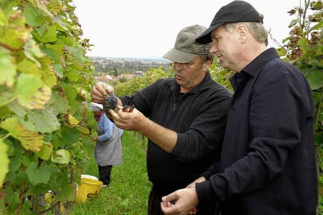Stippvisite zur Weinlese bei Leiselheims Winzern