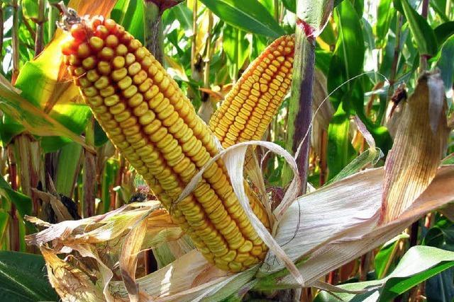 Nicht mehr nur Mais