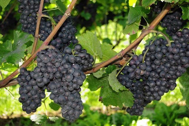 Winzergenossenschaften schließen Engpässe beim Weißwein nicht aus