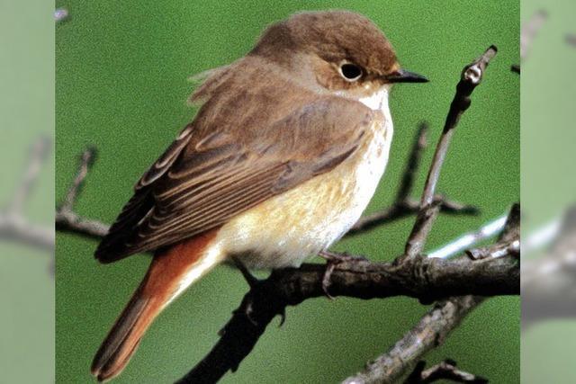 Gartenrotschwanz Vogel des Jahres