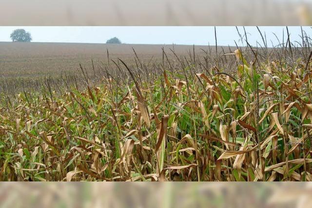 Weizen als Alternative zum Mais