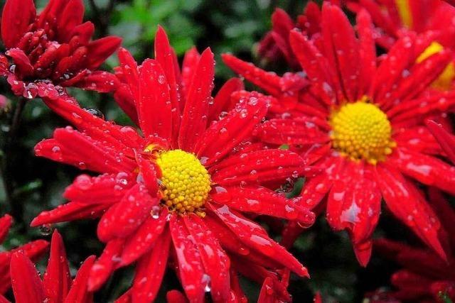 Fotos: Das erste Chrysanthemen-Wochenende