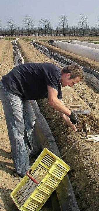 Anstrengende Arbeit an der frischen Luft: Spargelernte    Foto: Philipp