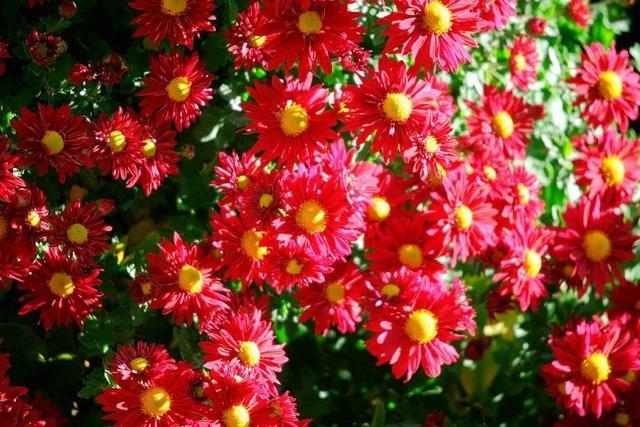 Video: Sie sonnigen Seiten der Chrysanthema