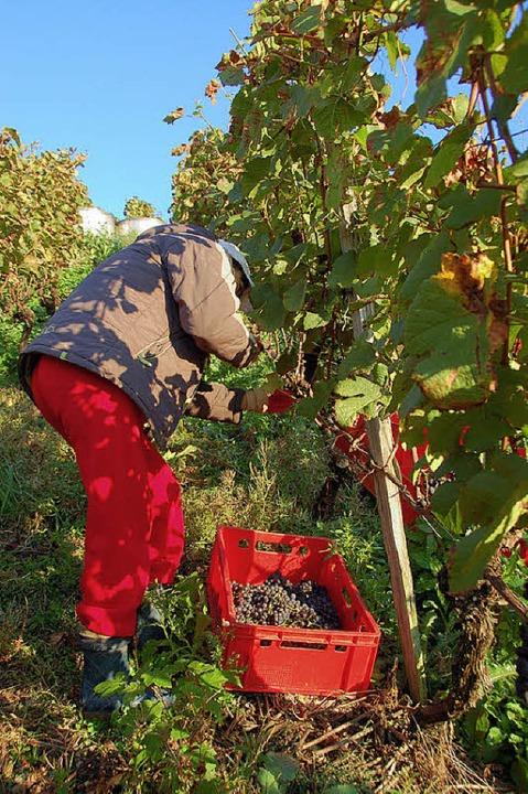 Handarbeit ist beim Lesen der Traubene...en Glottertäler Steillagen gefordert.     Foto: Kiefer