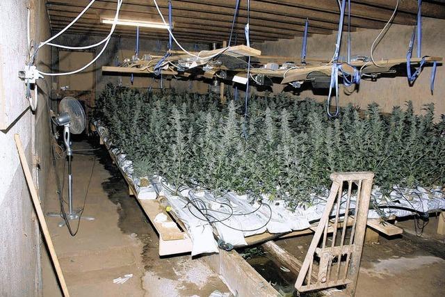 Cannabisplantage entdeckt