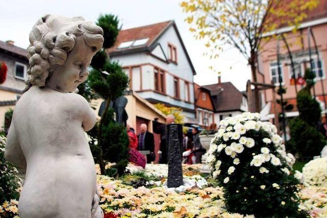 Chrysanthemen-Märchen geht zu Ende