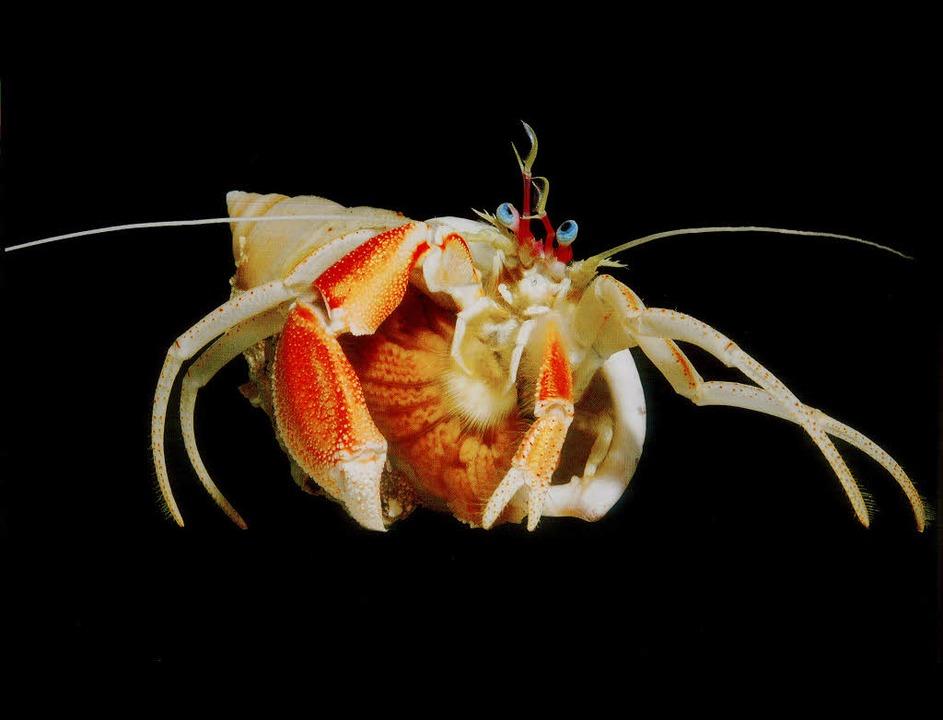 Im Meer vor den Hawaii-Inseln entdeckt...uf seiner Unterseite angesiedelt hat.   | Foto: Spektrum Verlag