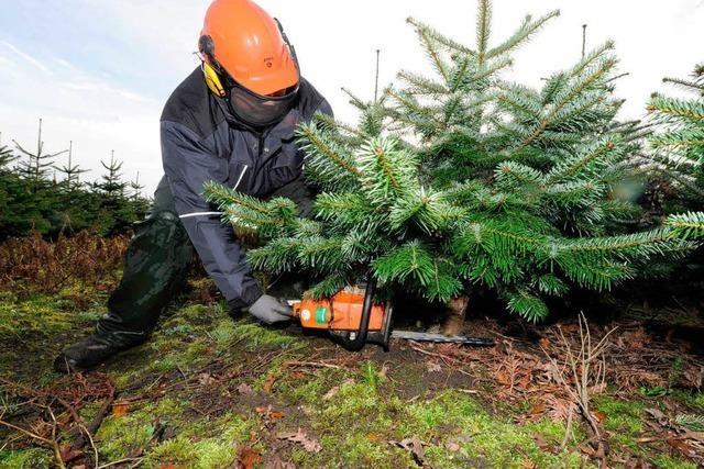 Die Nordmanntanne bleibt der beliebteste Christbaum