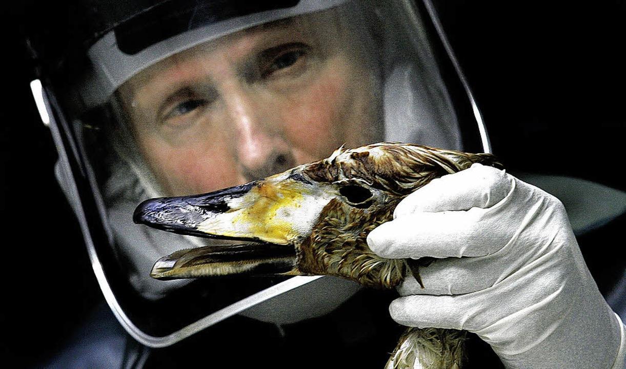 Der Komplize? Infizierte  Wasservögel verbreiten die Viren über den Globus  | Foto: ImageForum