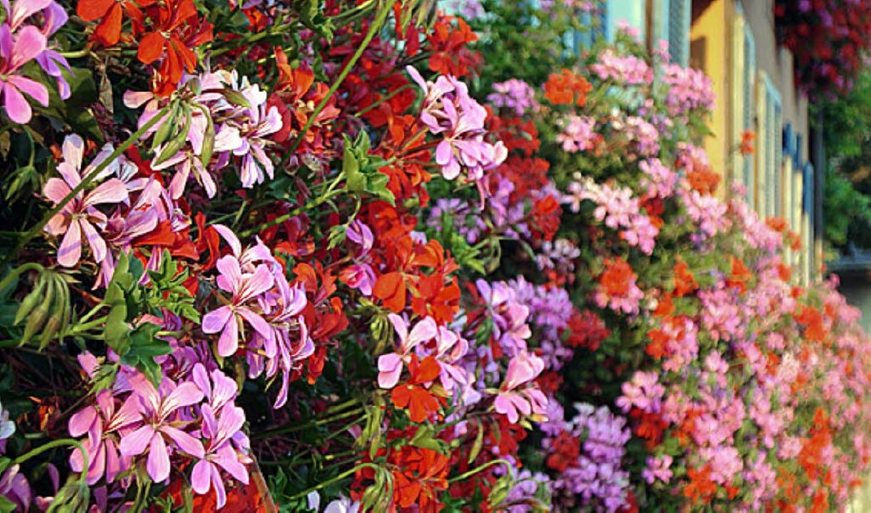 Blumen sollen Breisachs Stadtbild verschönern.     Foto: truöl