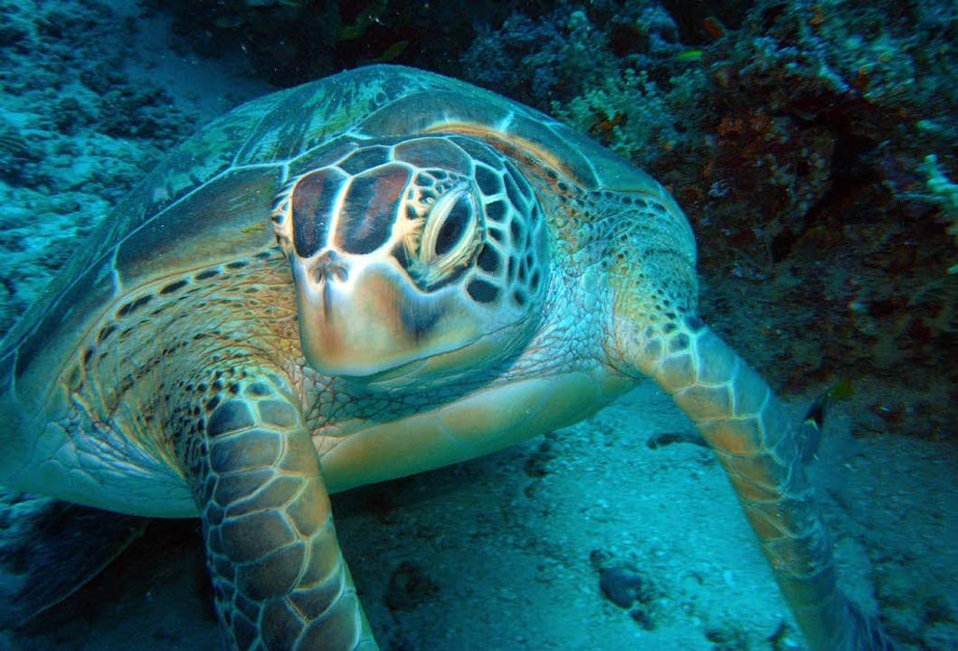 Bekanntschaft machten die Taucher auch mit Meeresschildkröten.  | Foto: Burkhard Hentschel