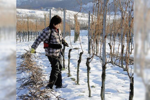 Viel Arbeit in den Weinbergen