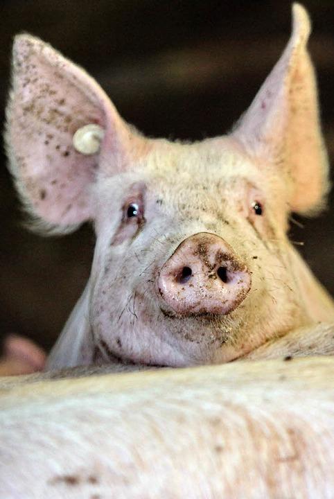 Schwein gehabt, wer dieser Tage Vegane...er wurden 4700 Betriebe geschlossen.    | Foto: dpa