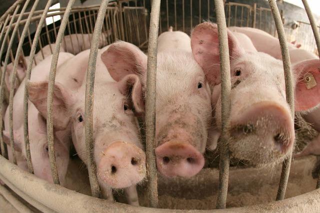 Dioxin-Skandal: Belastetes Schweinefleisch im Handel?