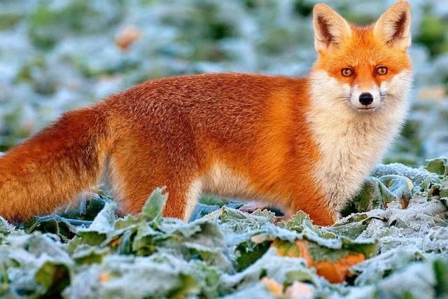 Weißrussischer Fuchs schießt Jäger ins Bein