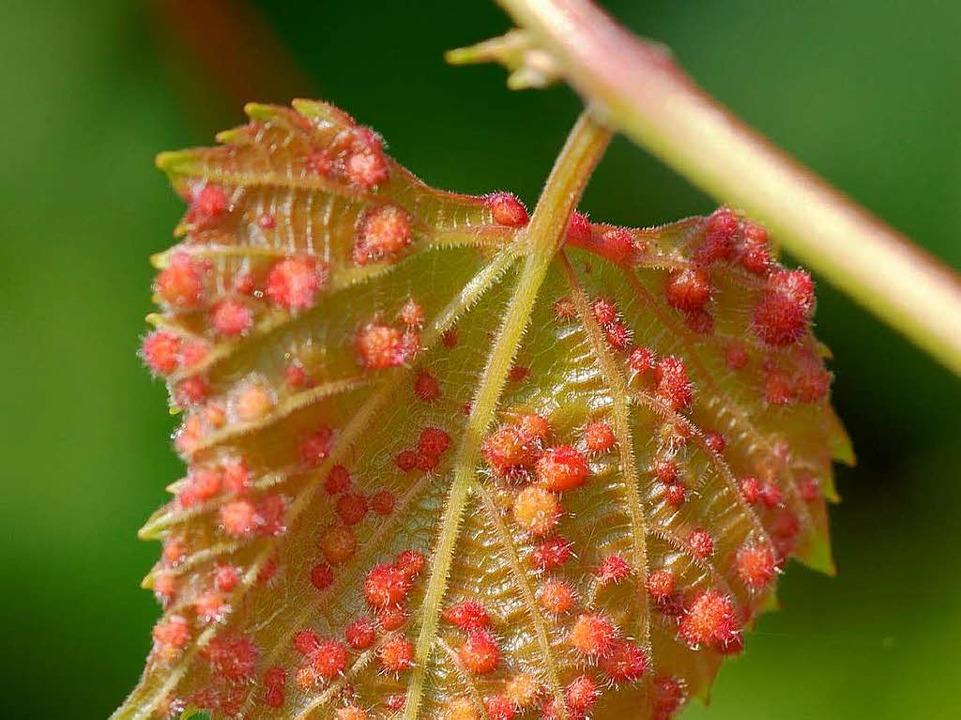 Blätter, die von Rebläusen befallen sind, bilden zahlreiche sogenannte Gallen.  | Foto: Michael Breuer