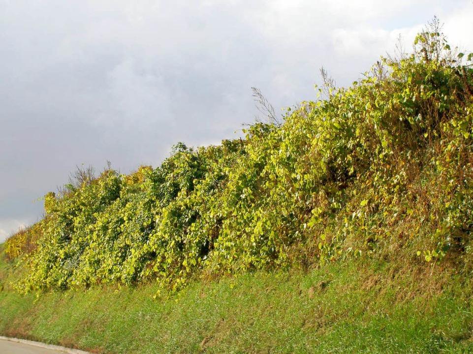 Von Böschungen, die von wilden Reben ü...t sind, breiten sich die Rebläuse aus.  | Foto: Privat