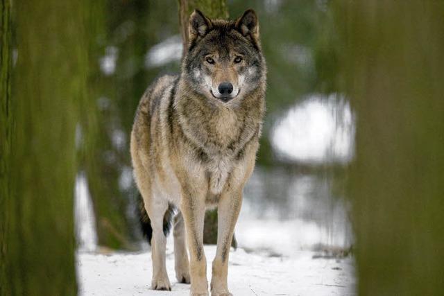 1000 Flinten gegen 20 Wölfe