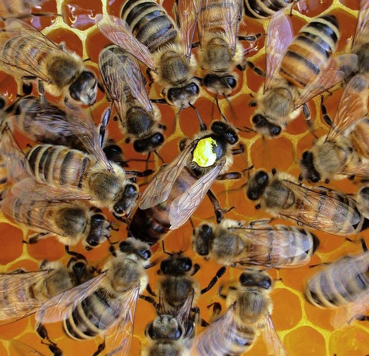 Eine Königin inmitten des Bienenvolks  | Foto: ZVG