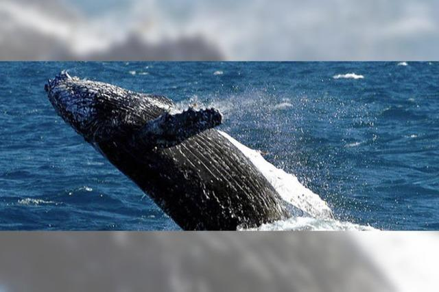 Japan bricht Walsaison ab