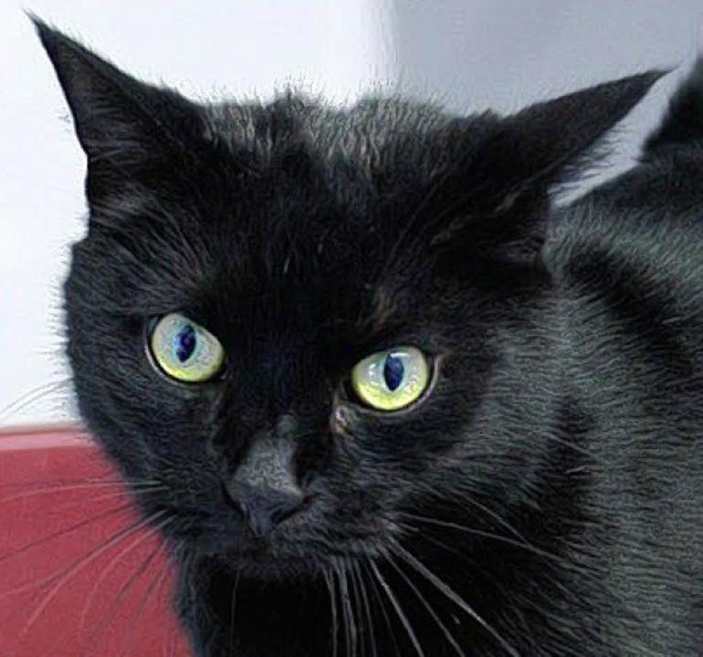 Dunkle Schönheit: Katzendame Conny     Foto: Tierschutzverein