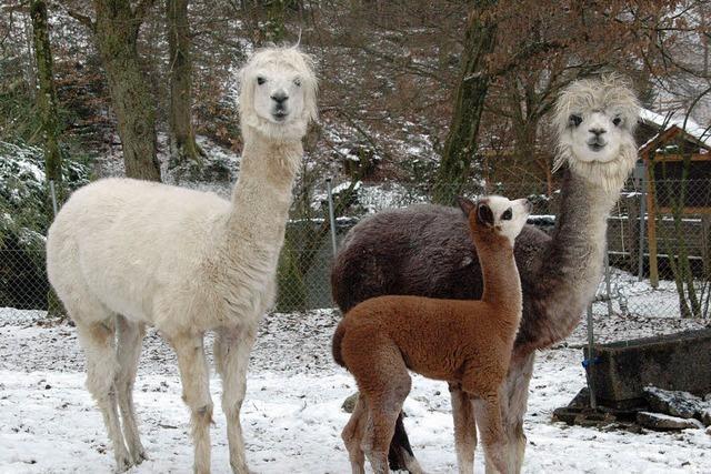 Lamas, Luchse & Co.: Schwarzwaldzoo öffnet am 1. März