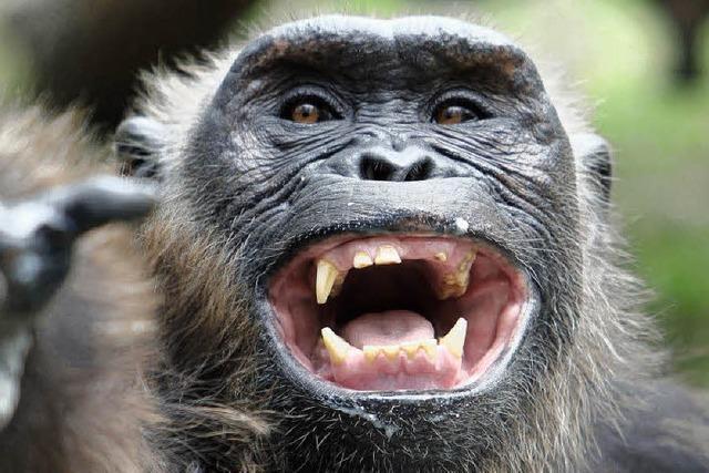 Warum lachen Schimpansen?