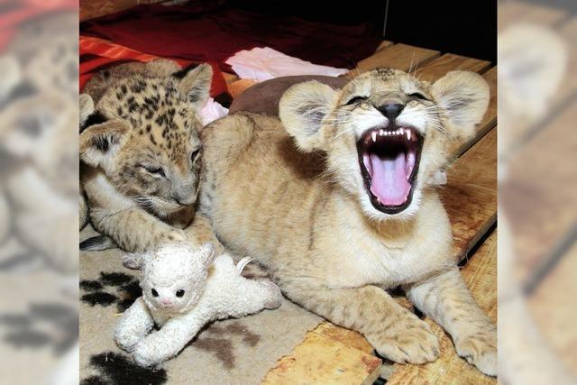 Drei Löwen im Wohnzimmer