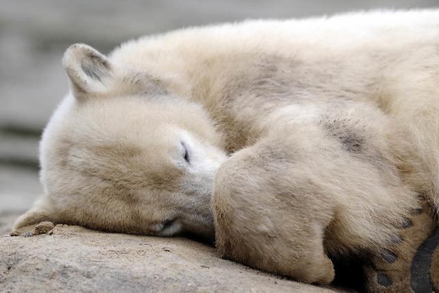 Abschied von Eisbär Knut