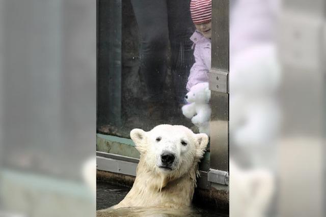 Eisbär Knut war krank