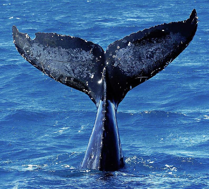 Wenn ein Buckelwal abtaucht, ragt zule...e Schwanzflosse, steil aus dem Wasser.  | Foto: usage Germany only, Verwendung nur in Deutschland