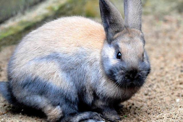 Eltern empört: Kaninchen im Unterricht geschlachtet