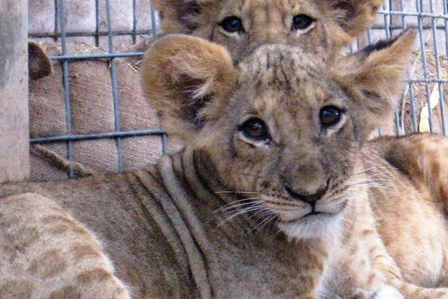 Afrikanische Schutztruppe päppelt Löwenkinder auf