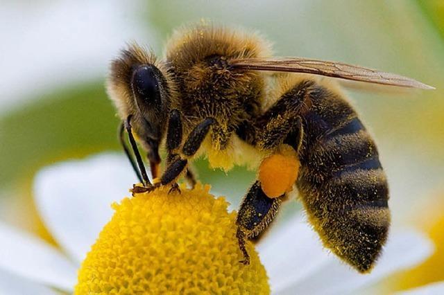 Bienenklau in Altenheim