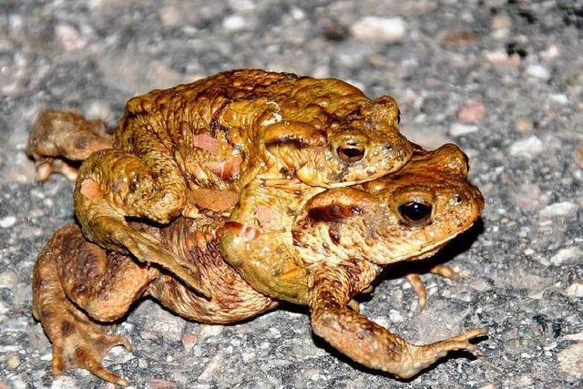 Kein Schutz für Kröten: Massensterben im Hotzenwald
