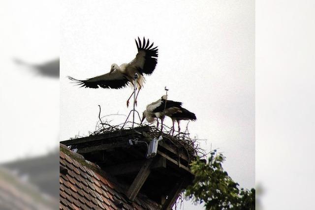 Storch stirbt an Stromschlag