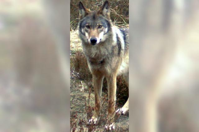 Heute kommen die ersten Wölfe