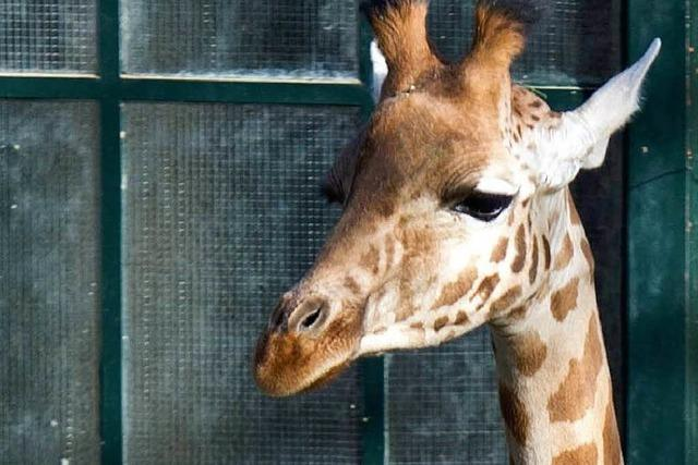 Heim für bedrohte Art: Zolli wechselt die Giraffenart