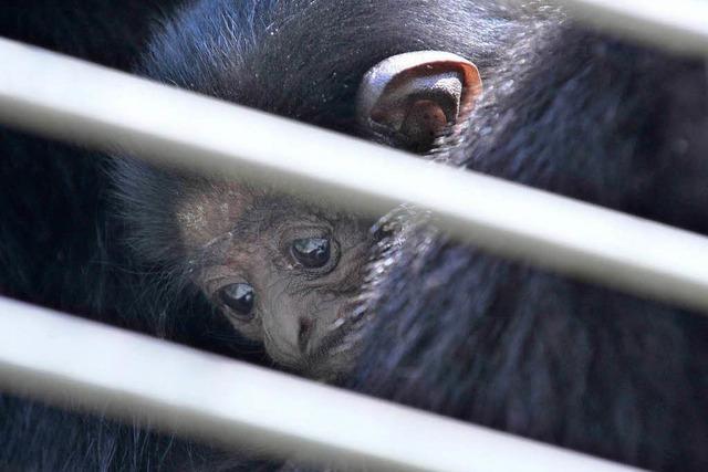 Gibbonbaby verzaubert auf dem Mundenhof
